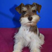 Liver tan parti miniature schnauzer puppy