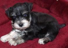 Jetta - Miniature Schnauzer Puppy