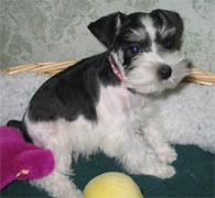 Black/Silver Parti Miniature Schnauzer Puppy