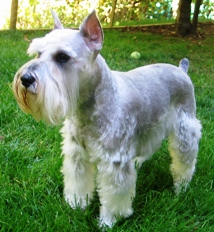Rugby - Adult Miniature Schnauzer
