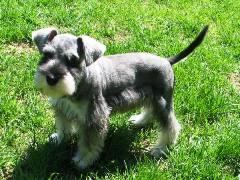 Salt/Pepper Miniature Schnauzer Puppy