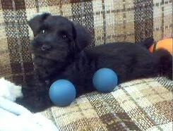 Spencer - Miniature Schnauzer Puppy