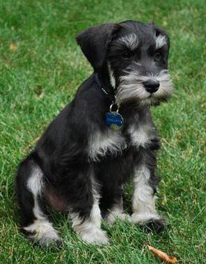 Black/silver male - Javelin/Bentley Puppy