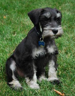 Black/silver male - Javelin/Bentley Puppy