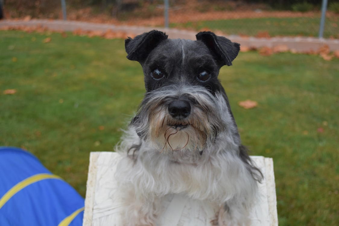 Is a Miniature Schnauzer right for you?
